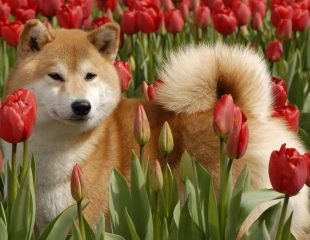 Red Shiba with tulips