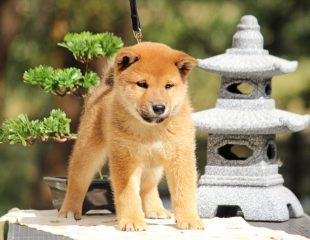 Shiba pup Japanese background